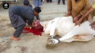 My Cow Qurbani 2020 | 2nd Day Of Eid-ul-Azha 2020