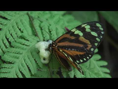 泡を吹くヒトリガの仲間 Chetone angulata