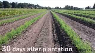 ASPARAGUS PLANTS PLANTATION - MANUAL PLANTATION - PLANTARA, PLANTS PRODUCTION