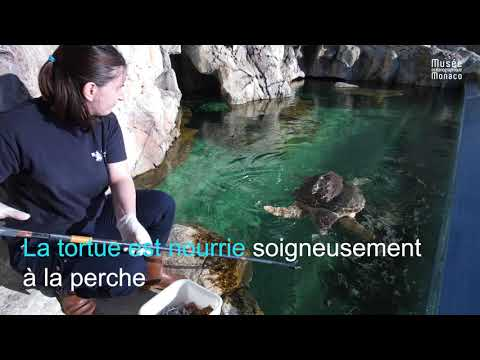 Nourrissage des tortues marines