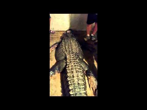 捕獲417公斤「巨鱷」 體型龐大被形容像恐龍