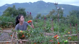Video : China : Tomatoes : from seed to harvest and cooking