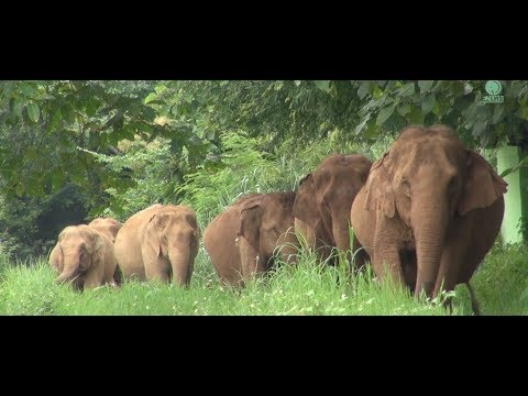 First time of 15 elephants observing new land