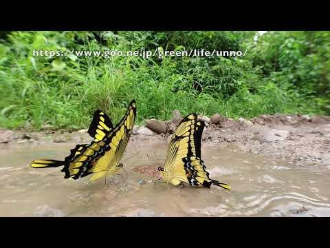 タスキアゲハの飛翔をOsmo Actionで Papilio thoas