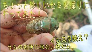 少し珍しいセミを捕まえに行ったミカド型ミンミン
