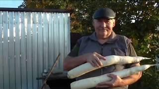 Уборка дайкона, урожайность разных сортов дайкона в этом сезоне.