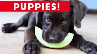 Cutest Puppies Playing Around 2017 | Funny Pet Videos