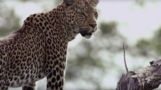 Leopard Mother Rescues Cub from Hyenas | BBC Earth