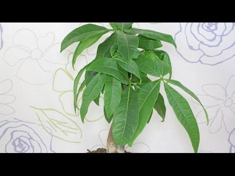 Pachira aquatica - Glückskastanie, Guiana Chestnut