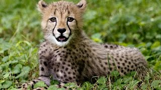 Are These Cats Really Going Extinct ? (Cheetahs Facing Extinction)