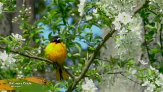 Male Baltimore Oriole Sings