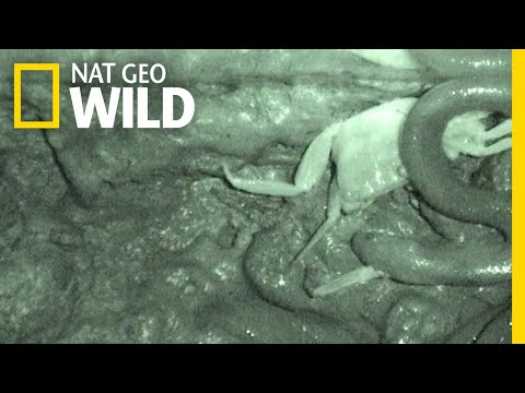 This Snake Rips Its Prey Into Pieces, Instead Of Swallowing It Whole | Nat Geo Wild