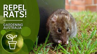 Rid yourself of rats with these poison and trap free rat repelling techniques | Gardening Australia