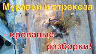 Муравьи и стрекоза - кровавые разборки при увеличении