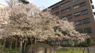 【HD】岩手県 石割桜 – がんばれ東北!