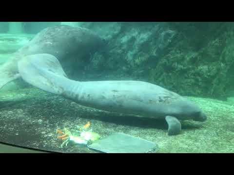 新屋島水族館【公式】 アメリカマナティー