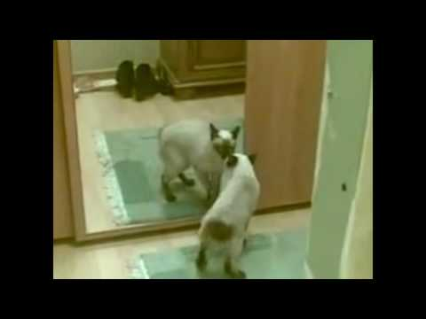 Funny Cat Making Funny Actions When Watching In The Mirror
