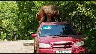 Медведь выбирает машину :) Камчатка