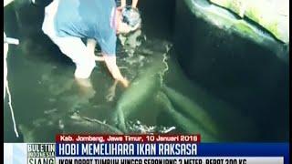 seorang pria di jombang memiliki hobi unik memelihara delapan ekor ikan raksasa  bis 11 01