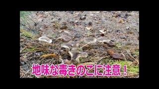 毒キノコのクロハツ[松林]