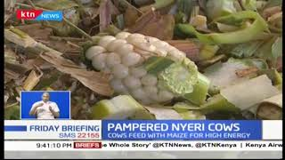 Pampered Nyeri cows! Othaya residents baffled by practice of maize fed to dairy cows