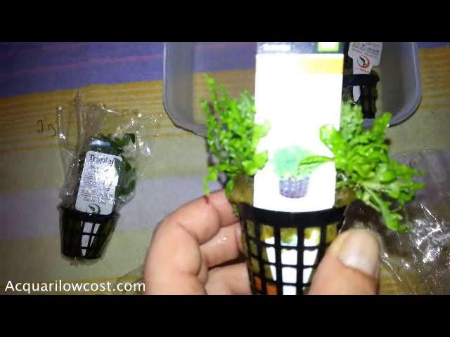 Pogostemon Helferi Blyxa Japonica e Staurogyne Repens piante acquario Unboxing