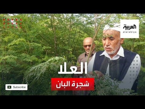 العرب اليوم - شاهد: شجرة البان أيقونة الزراعة في محافظة العلا