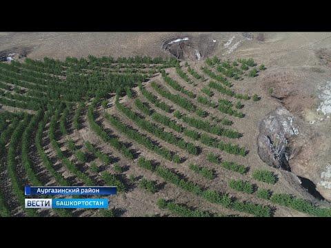 Как восстанавливают башкирский лес – специальный репортаж «Вестей