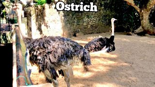 Ostrich With Eggs