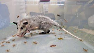 Baby Opossum VS 1,000 Crickets (ASMR)