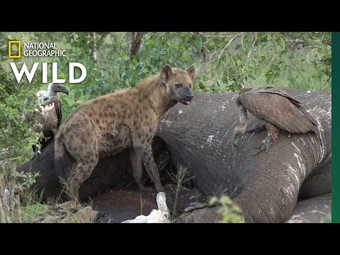 Here's what happens after an elephant dies | nat geo wild
