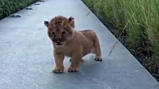 Lion Cub Trying To Roar Is The Cutest Thing Ever