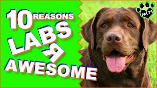 10 Reasons Why Labradors Are Such Awesome Dogs