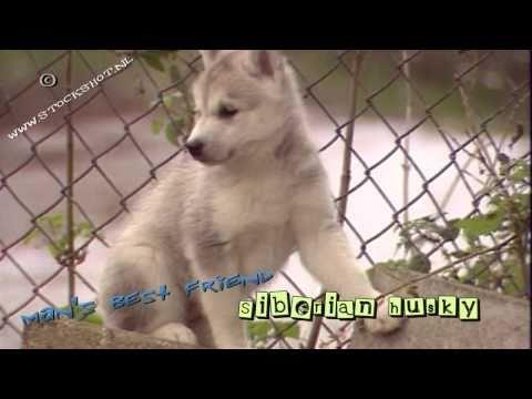 Siberian Husky & puppies - Siberische husky