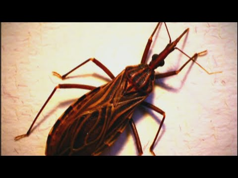 Video Kissing bug disease more dangerous than thought, study finds