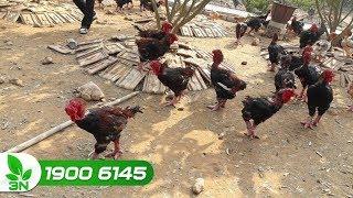 Chăn nuôi gà | Chuyên gia tư vấn cách điều trị bệnh tụ huyết trùng cho gà