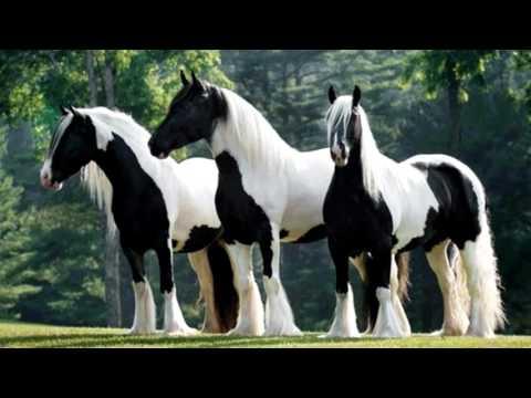 Порода лошади. Тинкер. Сильная  и мускулистая лошадь.Цыганская упряжная