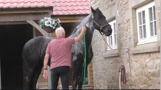 A Very Hot Friesian Horse Loves A Shower.  Arabian Horse Gets Ready For A Ride.