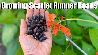 Coffee Walk & Scarlet Runner Beans