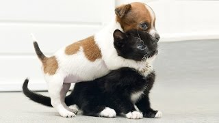 Cat Meets Puppy ★ Cats Meeting Puppies For First Time (HD) [Funny Pets]