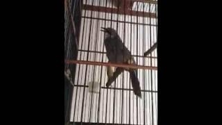 Suara Kicau Burung Cucak Rowo Juara Gacor