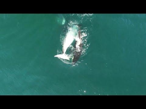 Стая косаток убила кита близ Камчатки 18+