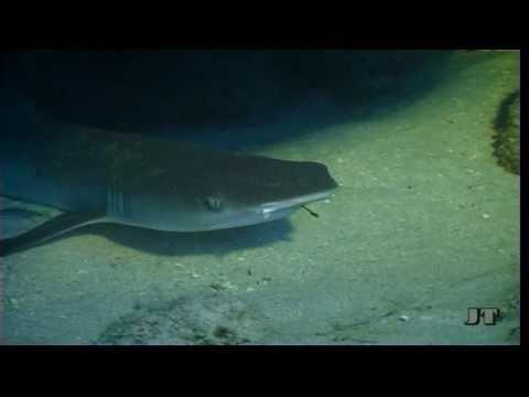 Weißspitzen-Hai mit Angelhaken, Abu Dabbab (Marsa Alam),Ägypten
