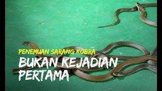 Teror Ular Kobra di Klaten Bukan Kejadian Pertama, Sudah Ditemukan 13 Ular Sebelumnya