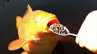 как правильно кормить карпа??? Рыбалка на карпа, ловля карпа 2018-2019