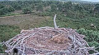 Buzzard and Osprey fly away from cam ~ ©PooleHarbourOspreyProject