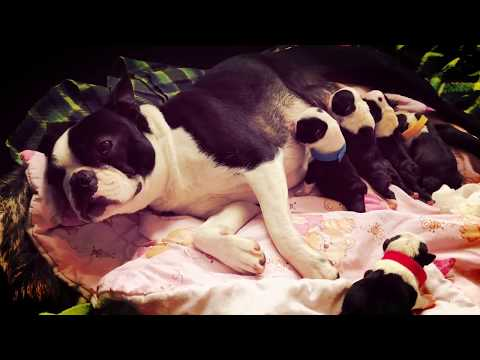 Amazing journey through pregnancy to birth experienced by our beloved Kiki, gorgeous Boston Terrier