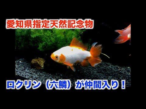 【金魚水槽】ロクリン(六鱗)が仲間入り。愛知県指定天然記念物。【goldfish】【金魚】