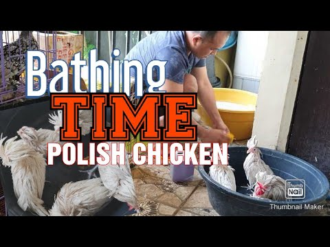 , title : 'Bathe your chickens to make them clean
