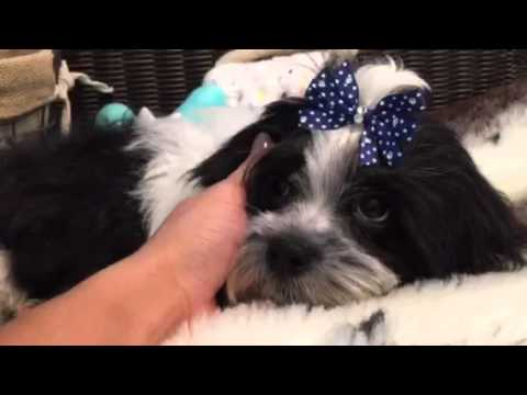 Handsome and Playful Malshih Male Puppy!